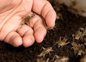 Food and Farm Cricket Crisis
