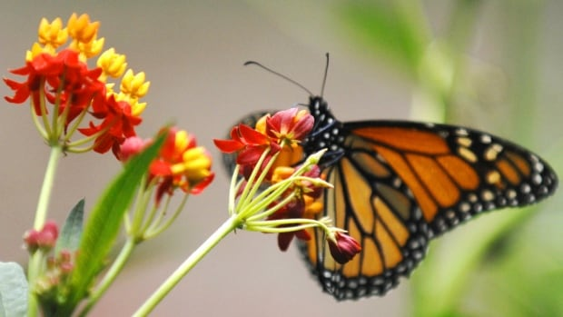 The number of monarch butterflies now on their migration to Mexico appear to to be at record lows. A monarch feeds on silky red milkweed, in a monarch way station as part of Monarch Watch, a continental effort to create backyard habitats for the butterflies along their migratory routes.