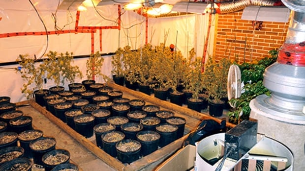 Drug raids seized more than 1000 plants and 22 kilograms of marijuana in Montreal Wednesday.