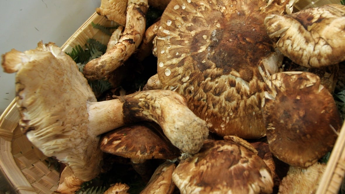 Search for 2 mushroom pickers near terrace expands for 9 kitchener terrace