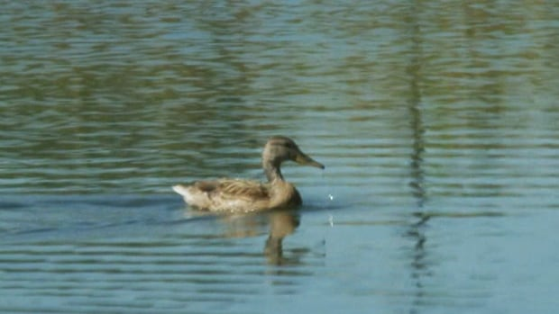 Fifteen ducks died in Jarry Park over the weekend. The city is still investigating the cause.
