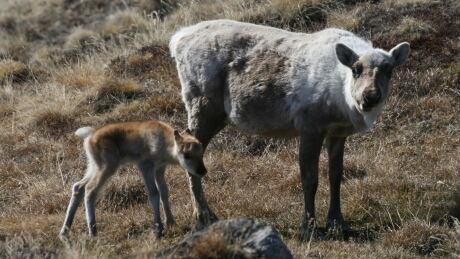 Caribou and calf