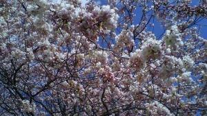 li-620-cherry-blossoms-cbc-