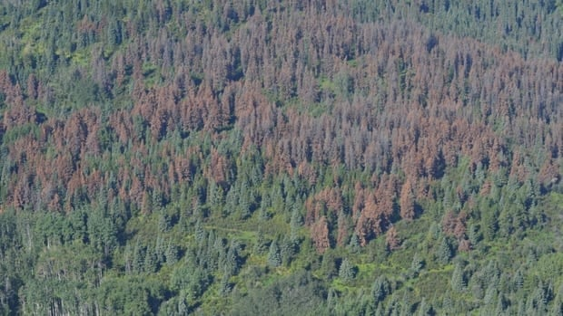 Dead trees near Peace River mark the spread of the pine beetle from B.C. into northern Alberta.