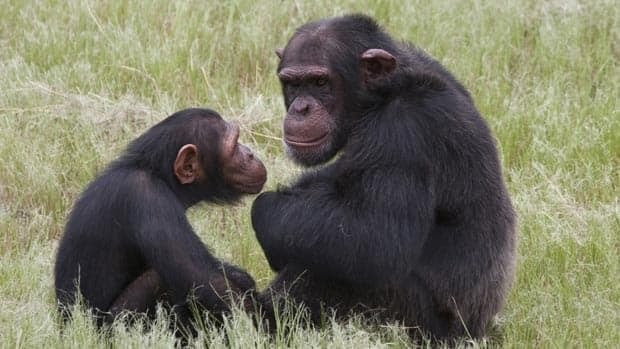 Chimpanzees sit in an enclosure at the Chimp Eden rehabilitation center, near Nelspruit, South Africa. A man was injured Thursday after chimps dragged and attacked him at the sanctuary founded by primatologist Jane Goodall.
