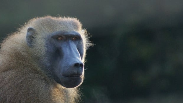 Baboons, both in the wild and at zoos, have societies that are run by females — and that dominance runs through family lines. So the oldest daughter of the matriarch is the rightful heir to become queen.