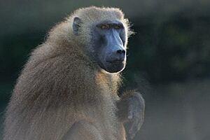 sm-300-baboon-grainger1hr