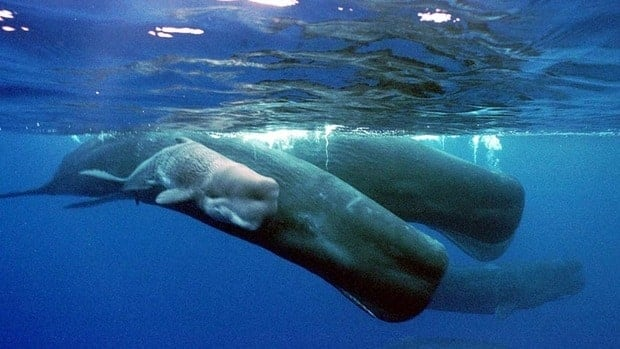 A gene in balsam fir trees could be used in the production of a substitute for ambergris, a substance produced in the digestive tract of sperm whales like these that is used as a fixative in high-end perfumes.