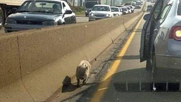 This photograph of the pig was posted to the WTOV9.com news website. Police confirmed the animal was wearing a scarf but cannot explain why.