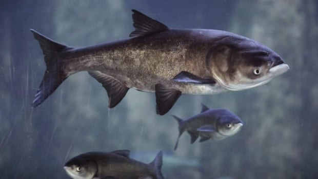 Asian carp dna found in year old lake erie samples for Lake erie fish species