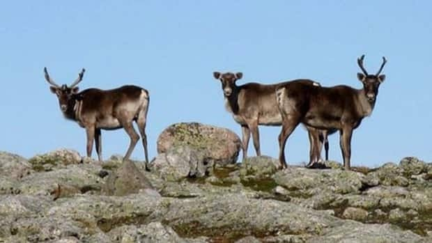 The B.C. government plans to give protected status to about 400,000 hectares of caribou status.
