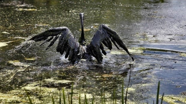 A Canada goose covered in oil attempts to fly out of the Kalamazoo River in Marshall, Mich., Tuesday, July 27, 2010. An estimated 877,000 gallons (3.3 million litres) of oil leaked from an Enbridge pipeline into the river, coating birds and fish.