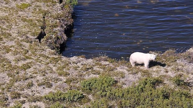 A pregnant female polar bear is seen in Manitoba's Wapusk National Park in this 2011 handout photo. Conservation officers are finding more dens in the area, which are used by mother polar bears when they give birth.