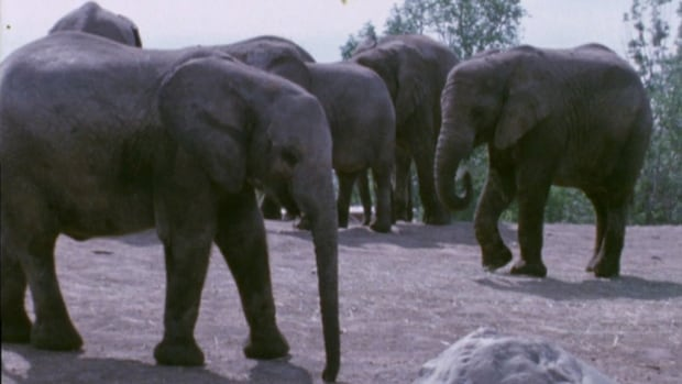 African elephants have lived at the zoo since it first opened in 1974.