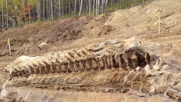 A 10-metre-long dinosaur fossil was discovered by a backhoe operator in Alberta.