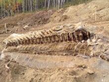 Spirit River dinosaur fossil