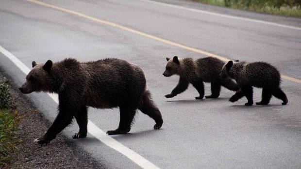 Parks Canada is reminding visitors to the mountain parks to drive carefully and not approach wildlife.