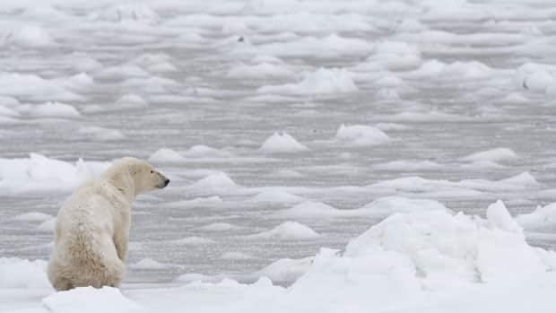 A polar bear looks towards Hudson Bay near Churchill, Man. in this November 2007 photo. Experts say the slow formation of winter ice on Hudson Bay this year has pushed some polar bears to the brink of starvation.