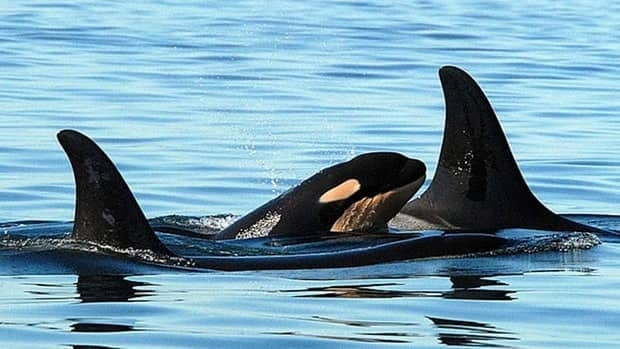 The challenge claims that the orcas in the Strait of Georgia are not a subspecies of other killer whales, but the same species.