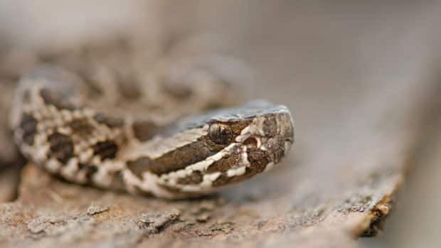 The Massasauga rattlesnake is a venomous viper found on the Georgian Bay Islands. The species has been added to the endangered list by the Committee on the Status of Endangered Wildlife in Canada.