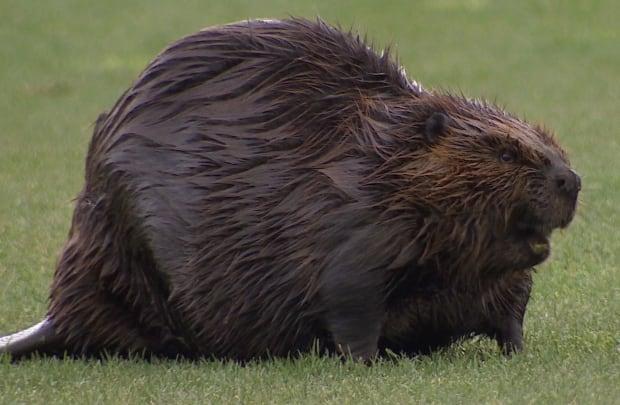 Gold course beaver