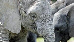 300-elephant