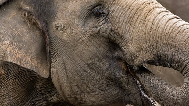 Novosibisk's zoo director told a Russian newspaper that the vodka saved the zoo's two elephants from frostbite and pneumonia, without harming or even intoxicating them.