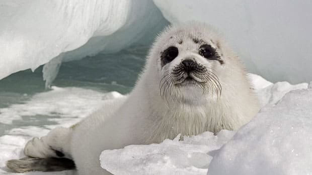 The harp seal population off of Canada's East Coast is at risk due to thinning sea ice cover caused by warming in the North Atlantic over the last 30 years, according to a new study.