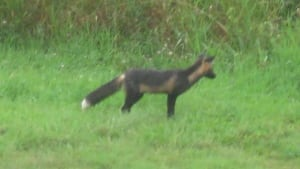 pe-hi-fox-cbc