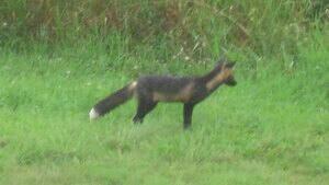 pe-hi-fox-cbc-4col