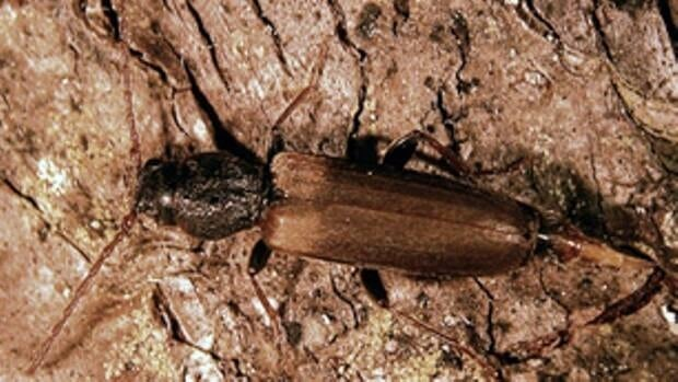 Previously only found in Nova Scotia, the Brown Spruce Longhorned Beetle was found last year in New Brunswick.