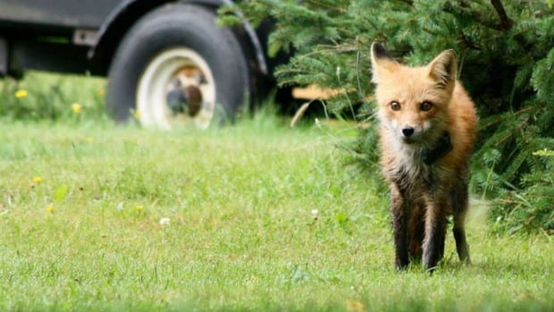 There are enough natural areas around Charlottetown for foxes to hunt on their own.