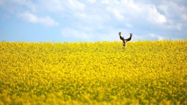 A stag stands in a neck-high field of canola north of Cremona, Alta. Production of wheat and canola was up nationally this year over last.