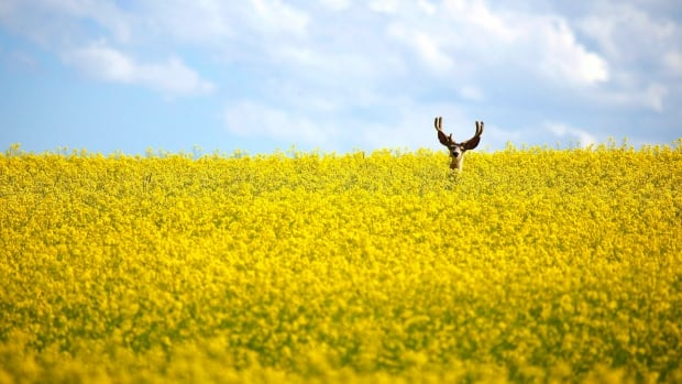 A stag stands in a neck-high field of canola north of Cremona, Alta.  The fungicide difenoconazole is increasingly used on cereal, oilseed and vegetable crops in Canada.