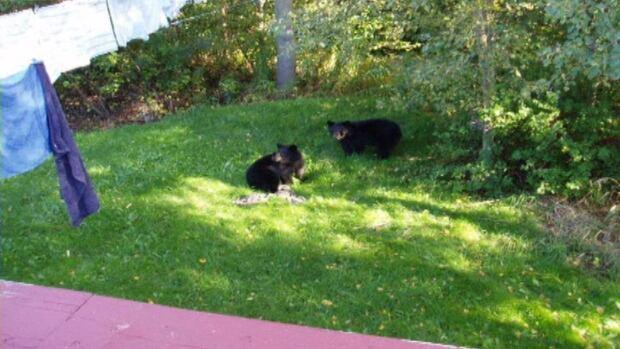 glovertown bear cubs backyard 2012