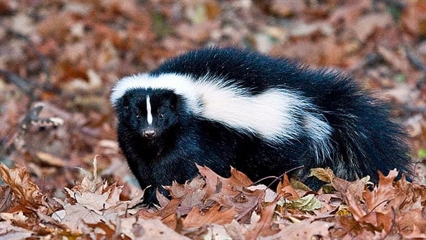 By law, trapped skunks can only be relocated one kilometre away from where they were caught.