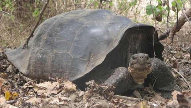 This tortoise is a hybrid of the species G. Becky and C. elephantopus, a species native to Floreana Island 300 kilometres away and thought to be extinct. Genetic analysis of tortoise population on Isabela Island suggests purebred individuals of C. elephantopus must still be alive on Isabela.
