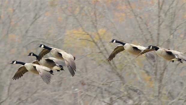 li-geese-golfcourse