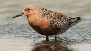 si-red-knot