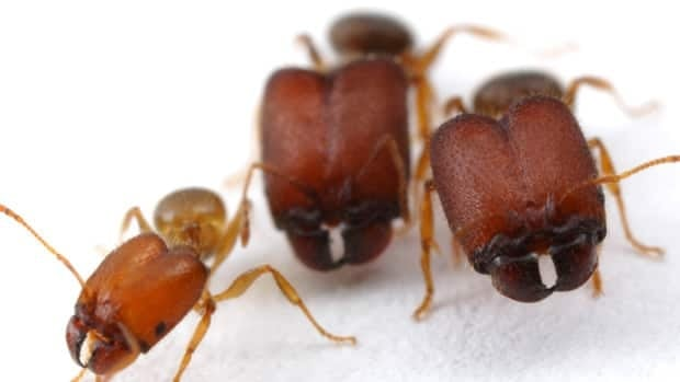 McGill Unversity researchers were able to create supersoldier ants, which are a biological anomaly, in the lab.