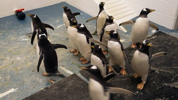 The Calgary Zoo plans to unveil its new penguins on Feb. 17.