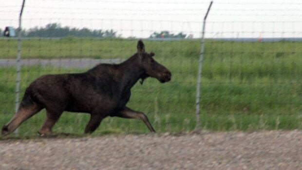 A moose caused a commotion atthe Regina airport on Friday. It later ran into the city where it was tranquilized and removed on a truck.