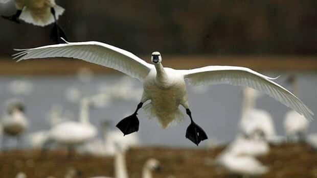 wdr-620-tundra-swan