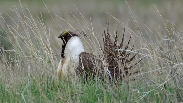 The count of male sage grouse is down by half from 2010 in Saskatchewan and remain slow in Alberta. Scientists estimate there are fewer than 100 of the endangered birds left in Canada.