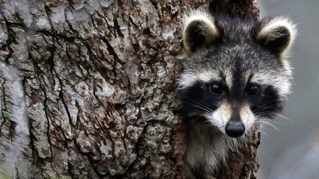 Officials estimate there are about 100 raccoons per square kilometre on Mount Royal.