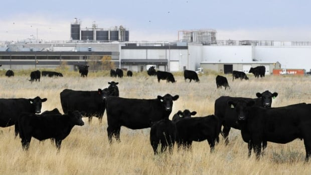 Cattle graze beside the former XL Foods' Lakeside Packers plant located in Brooks, Alta. The majority of the $4 million settlement is to go to those who became ill after eating the meat.