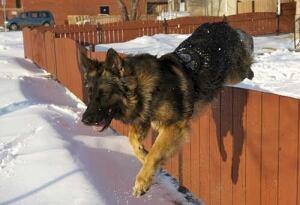 Police dog Quanto
