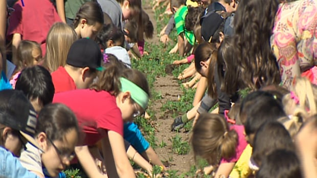 More than 5,600 students planted marigolds in the Greater Saint John area on June 6, earning a spot in the Guinness World Records.