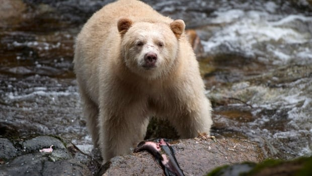 A Kermode bear, better known as the Spirit Bear, is seen fishing in the Riordan River on Gribbell Island.