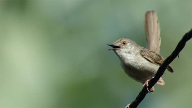 The graceful prinia, aka graceful warbler, shrank by 26 per cent between 1950 and 1990. New research suggests the cause may be global warming.